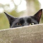 Cat hearing