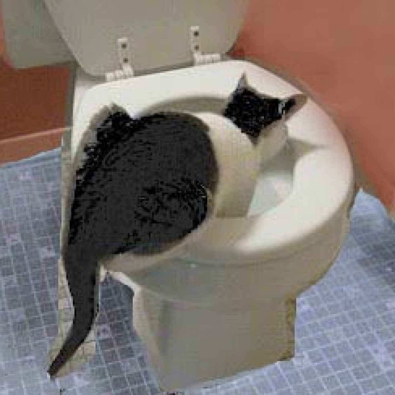 cat drinking out of the toilet